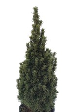 Picea glauca 'Jean's Dilly' - 1 gal