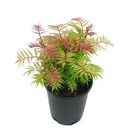Sorbaria sorbifolia 'Sem' 1 Gallon