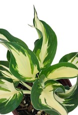 Hosta 'Loyalist' - 1 gal