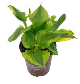 Hosta 'Summer Breeze'- 1 gal