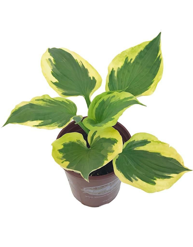 Hosta 'Twilight' - 1 gal