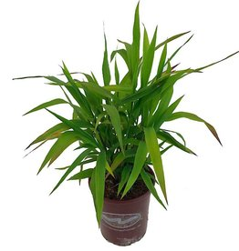 Chasmanthium latifolium - 1 gal
