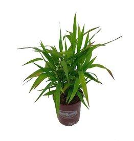 Chasmanthium latifolium 1 Gallon