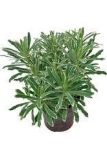 Euphorbia 'Silver Swan'- 1 gal