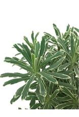Euphorbia 'Silver Swan' 1 Gallon