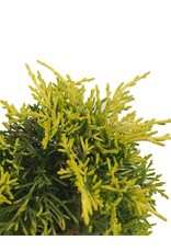 Juniperus p. 'Golden Joy' - 4 inch