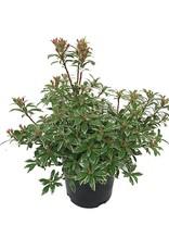 Pieris japonica 'Little Heath'- 1 gal