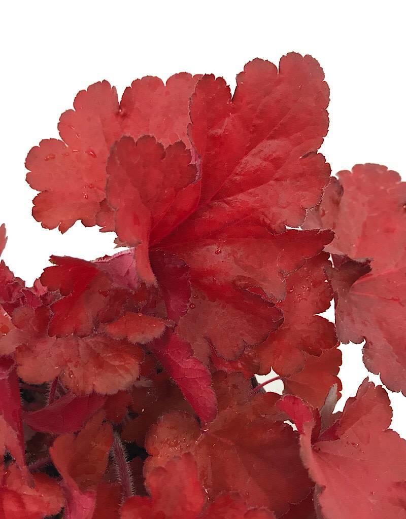Heuchera 'Forever Red' - Quart