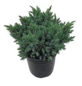 Juniperus squamata 'Blue Star' - 1 Gal
