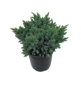 Juniperus squamata 'Blue Star' 1 Gallon
