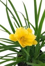 Hemerocallis 'Stella d' Oro'- 1 gal