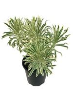 Euphorbia 'Tasmanian Tiger' 1 Gallon