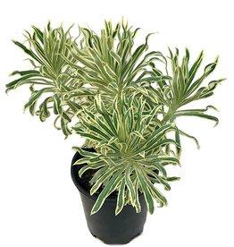 Euphorbia 'Tasmanian Tiger'- 1 gal