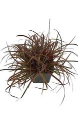 Uncinia rubra 'Belinda's Find' 4 inch