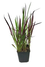 Imperata cylindrica 'Red Baron' - 1 gal