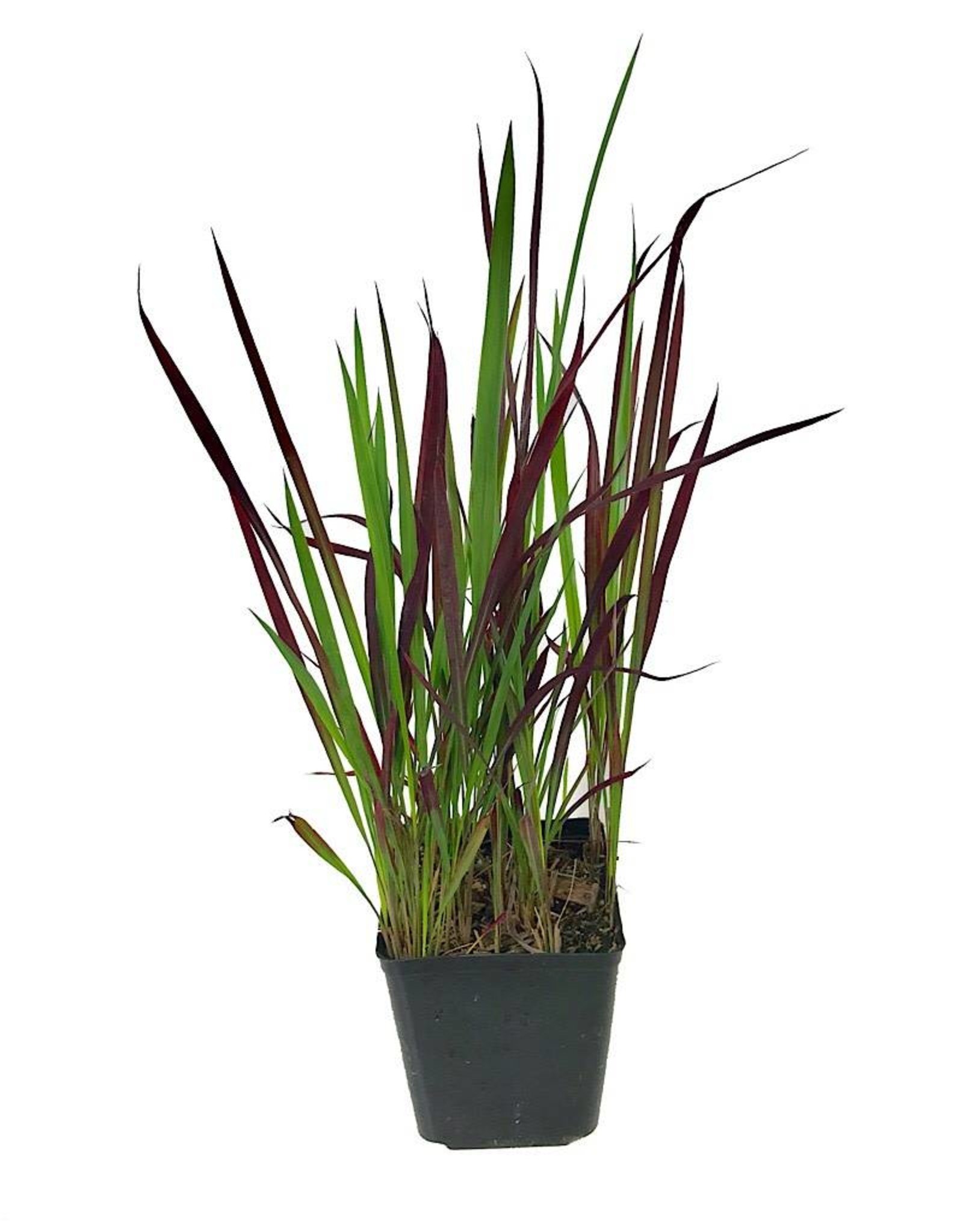 Imperata cylindrica 'Red Baron' 1 Gallon