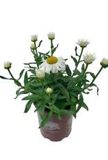 Leucanthemum 'Snowcap'- 1 gal