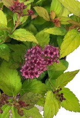 Spiraea j. 'Magic Carpet' - 1 gal