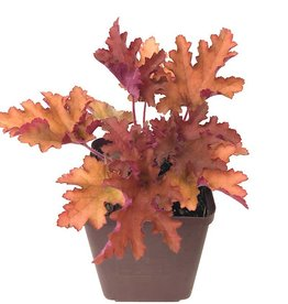 Heuchera 'Zipper' - Quart