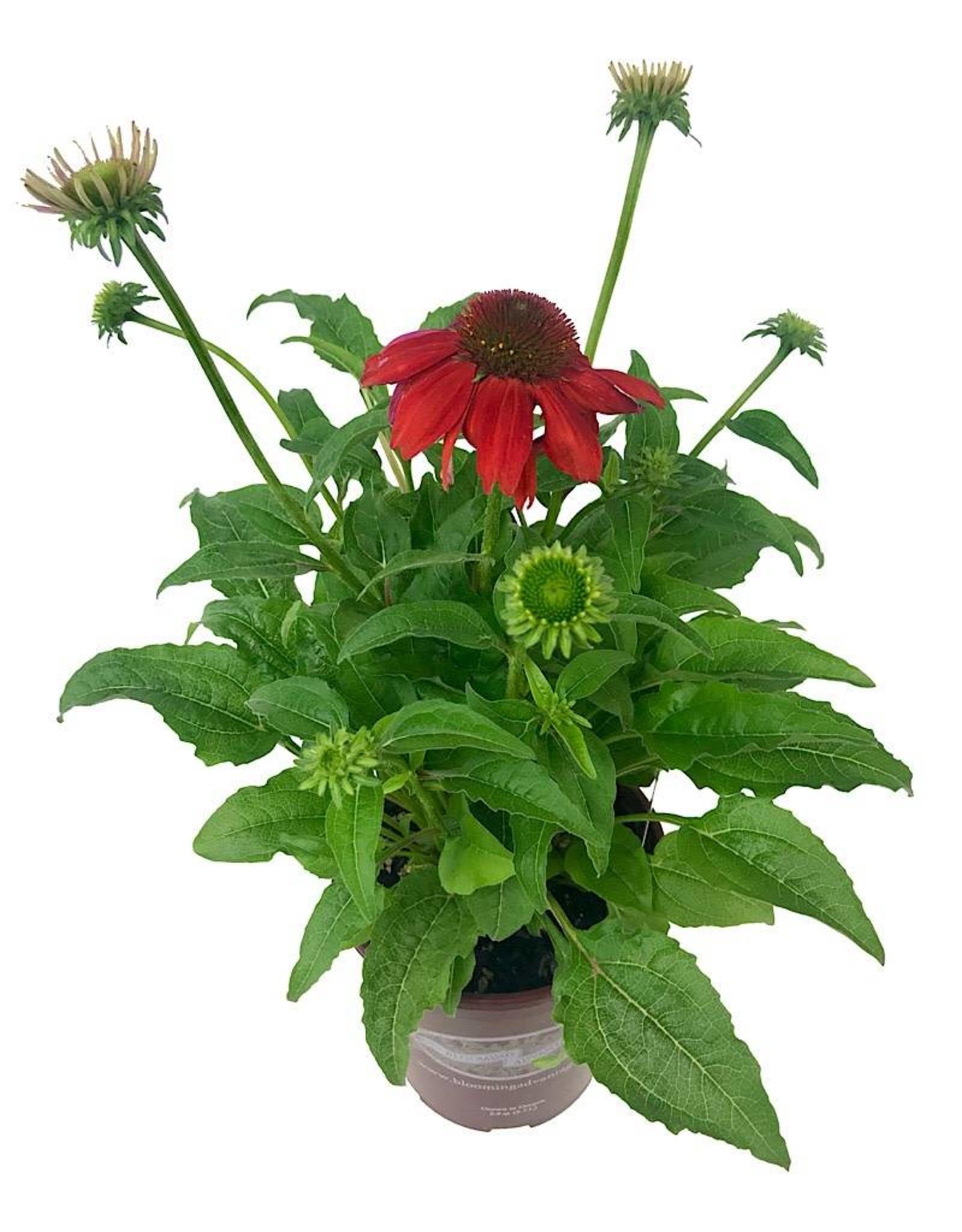 Echinacea 'Sombrero Salsa Red' 1 Gallon