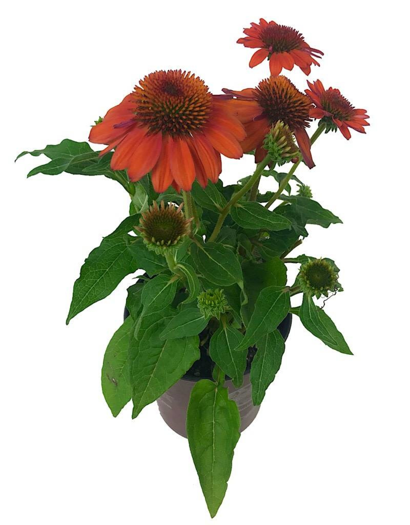 Echinacea 'Sombrero Adobe Orange'- 1 gal