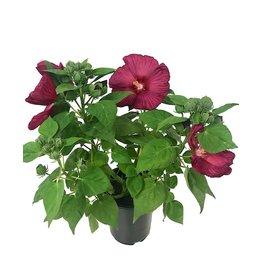 Hibiscus 'Luna Red' 1 Gallon