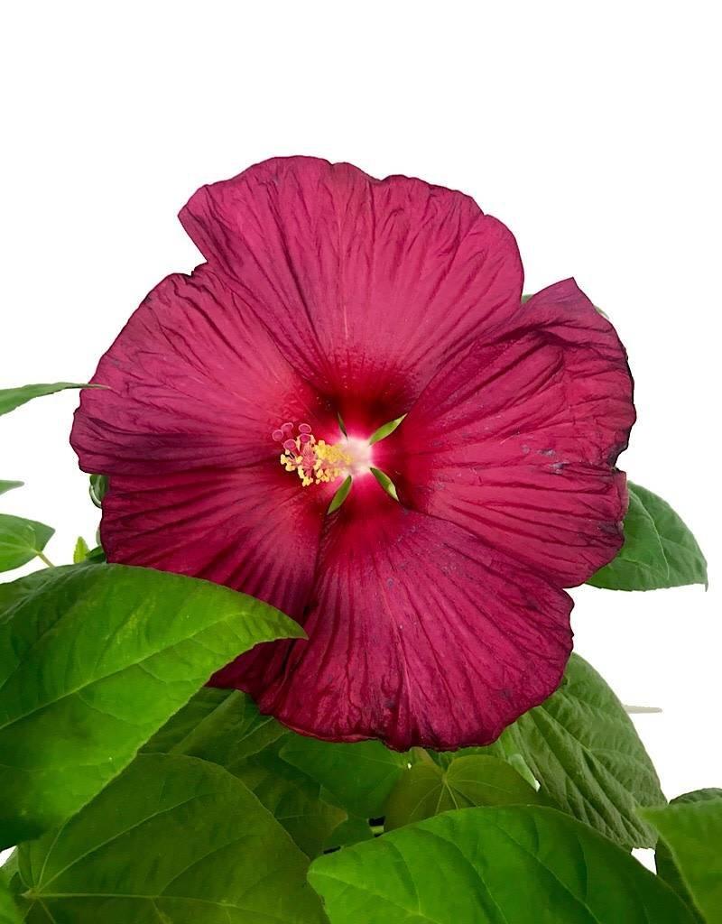 Hibiscus Luna Red 1 Gal The Garden Corner