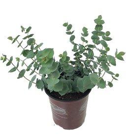 Parahebe perfoliata- 1 gal
