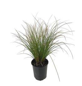Carex testacea 'Orange Sedge' - 1 gal