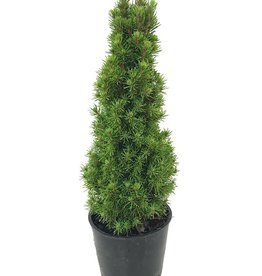Picea glauca 'Jean's Dilly'- 4 inch