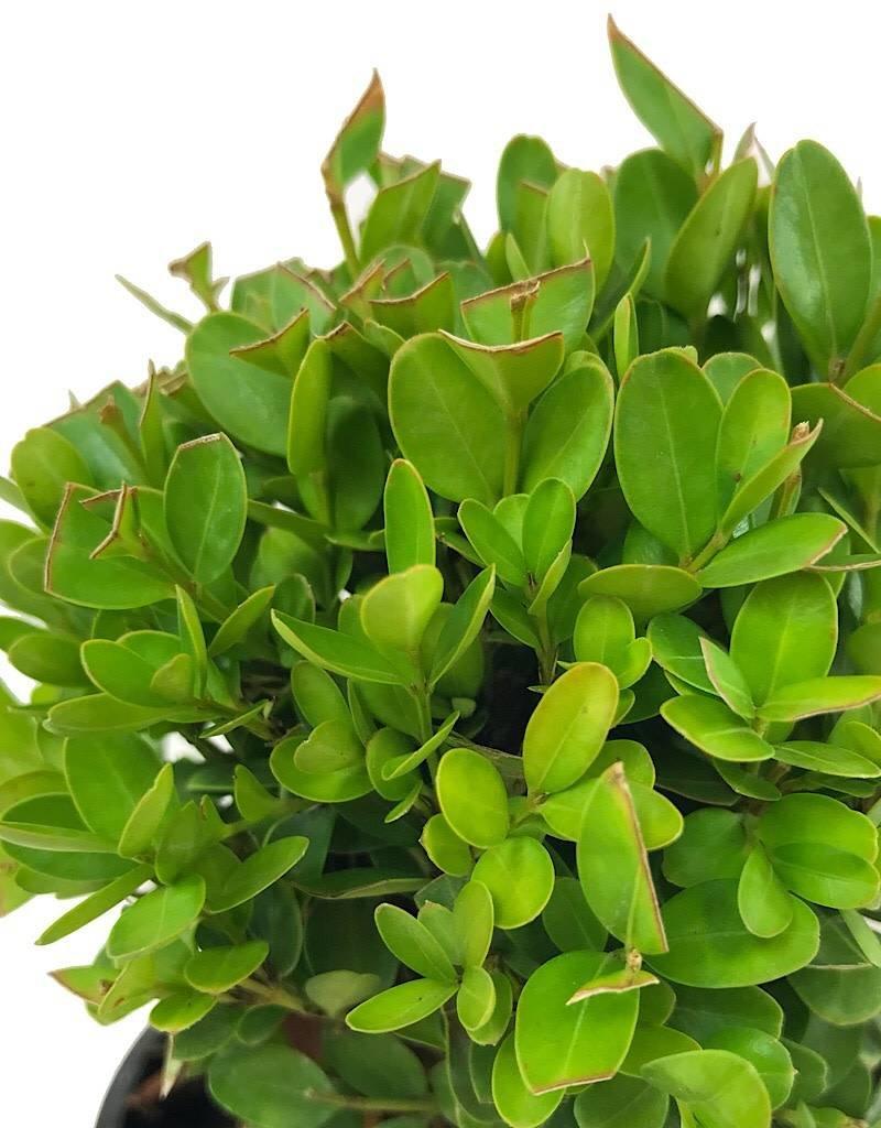 Buxus s. 'Suffruticosa' - 4 inch