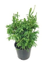 Chamaecyparis obtusa 'Bridget' - 4 inch