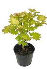 Acer shirasawanum 'Aureum'- 1 gal