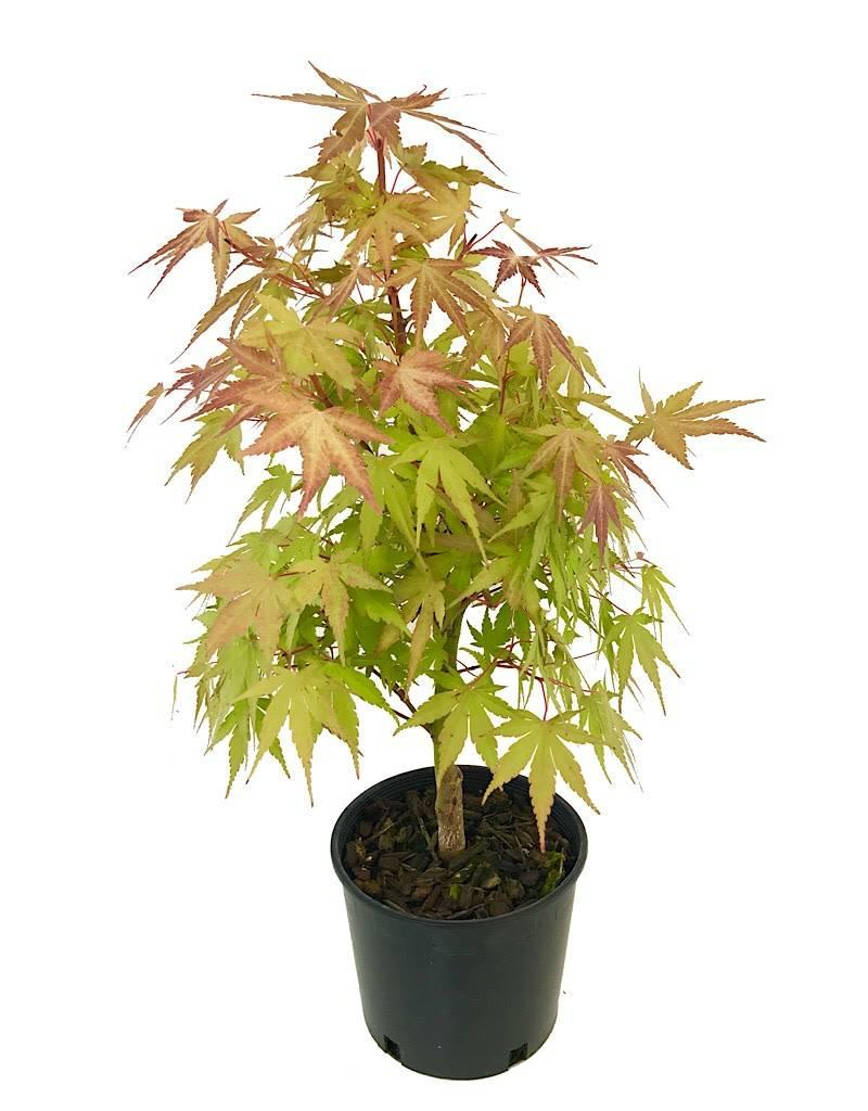 Acer x. 'First Flame - 1 gal