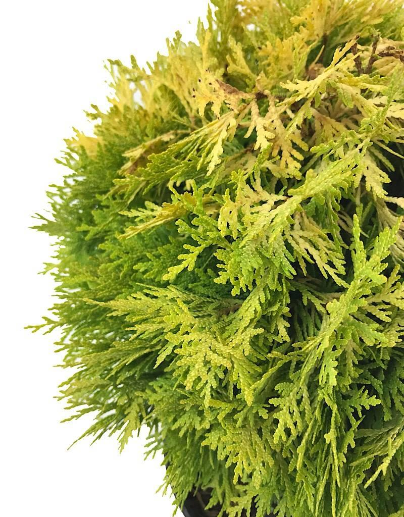 Thuja o. 'Autumn Moon' - 3 gal