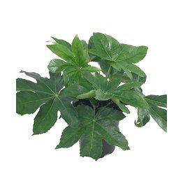 Fatsia japonica - 1 gal