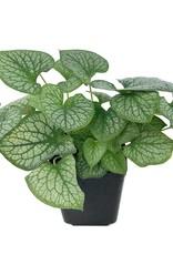 Brunnera macrophylla 'Jack Frost'- 1 gal
