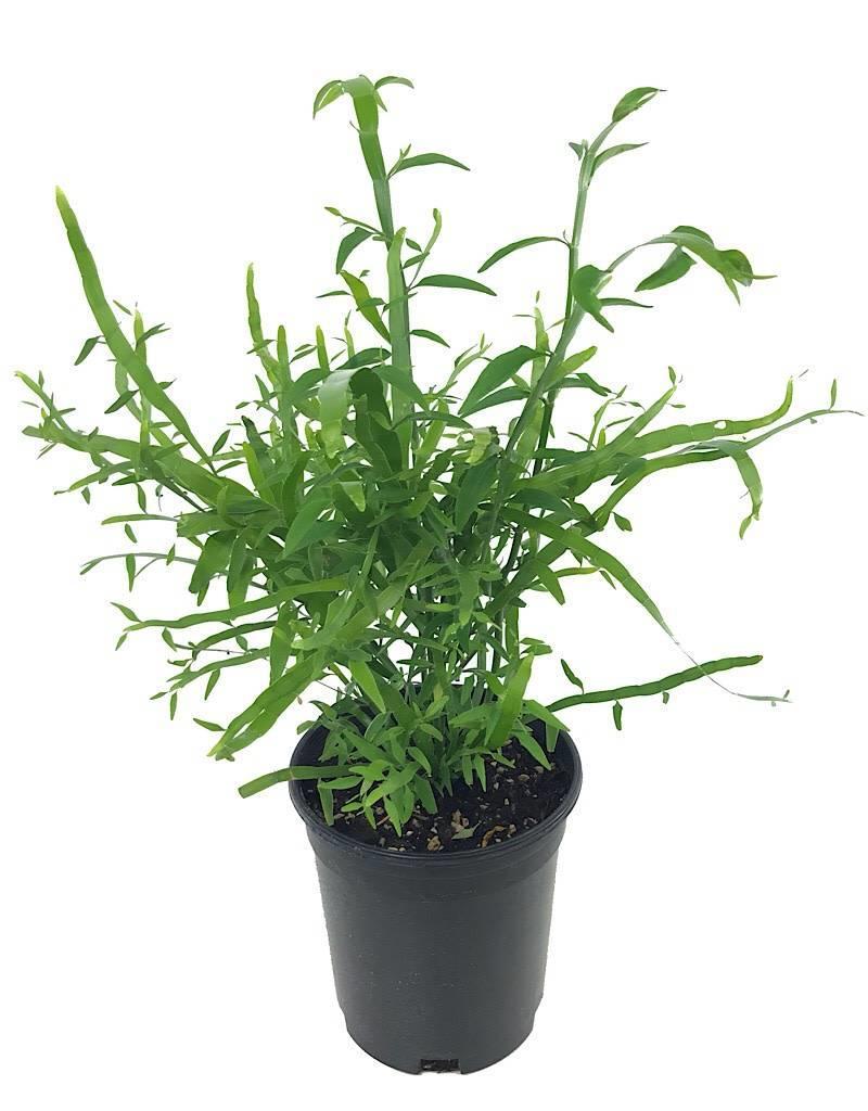 Homalocladium 'Ribbon Bush' - 1 gal