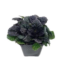 Ajuga 'Black Scallop' 4 Inch