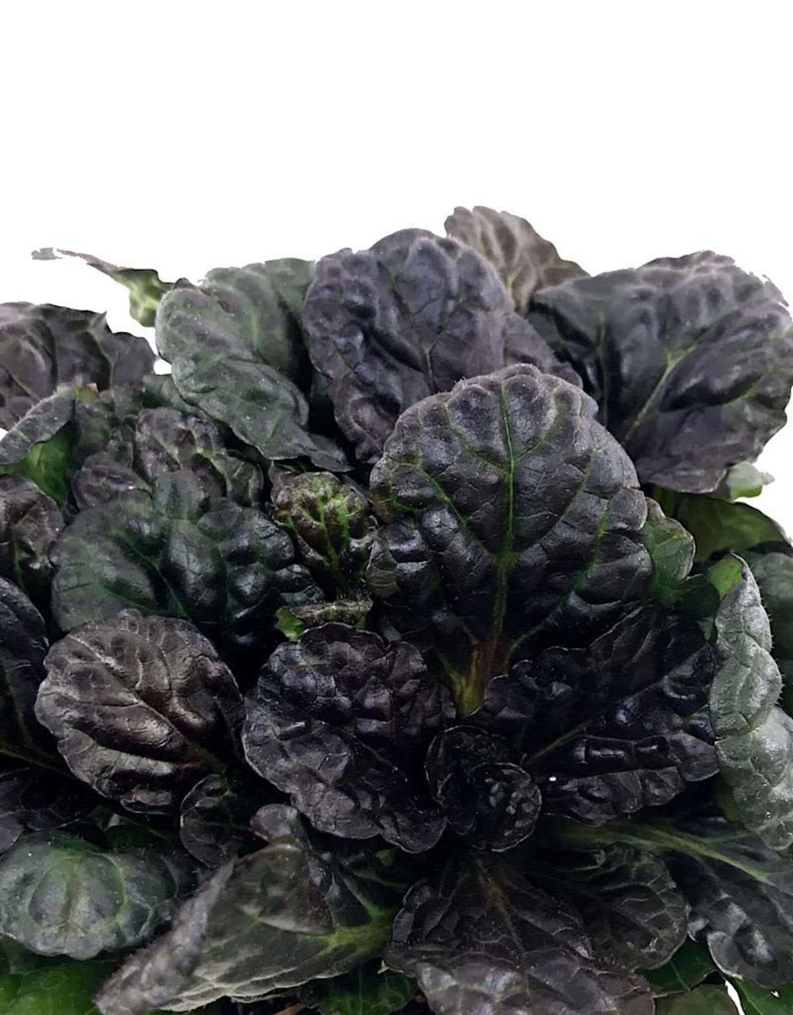 Ajuga 'Black Scallop' 4 Inch