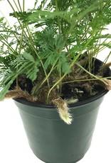 Davallia fejeensis 'Black' - 4 inch