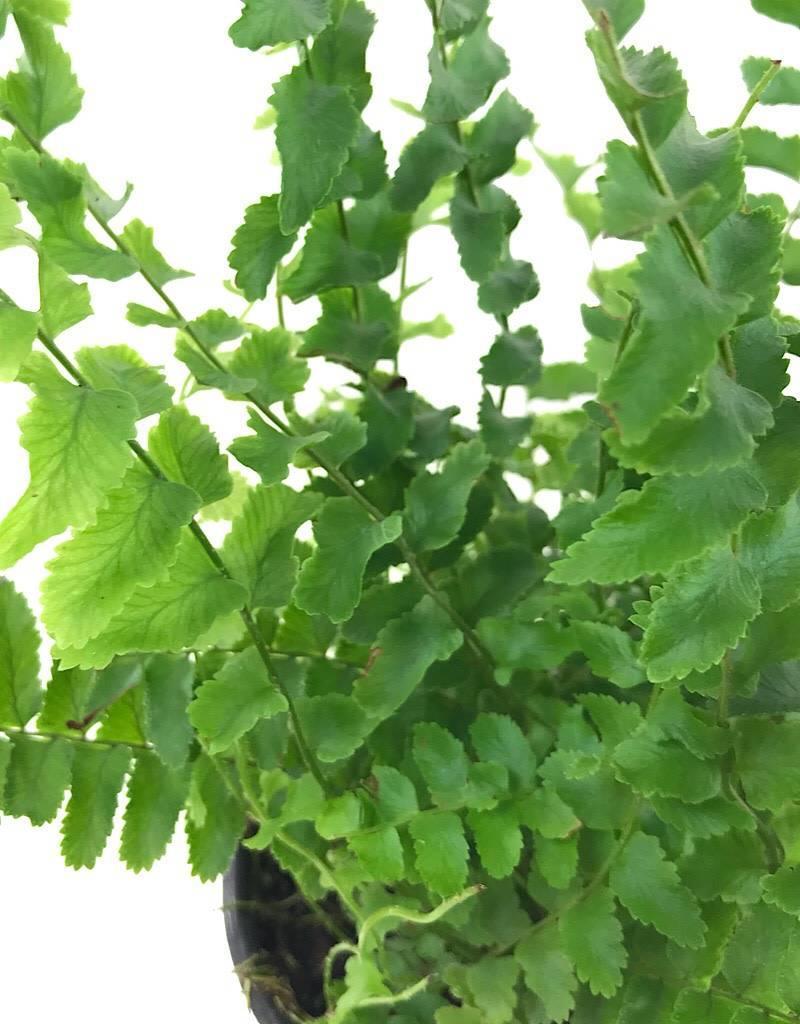 Nephrolepis exaltata 'Dallasii'- 4 inch