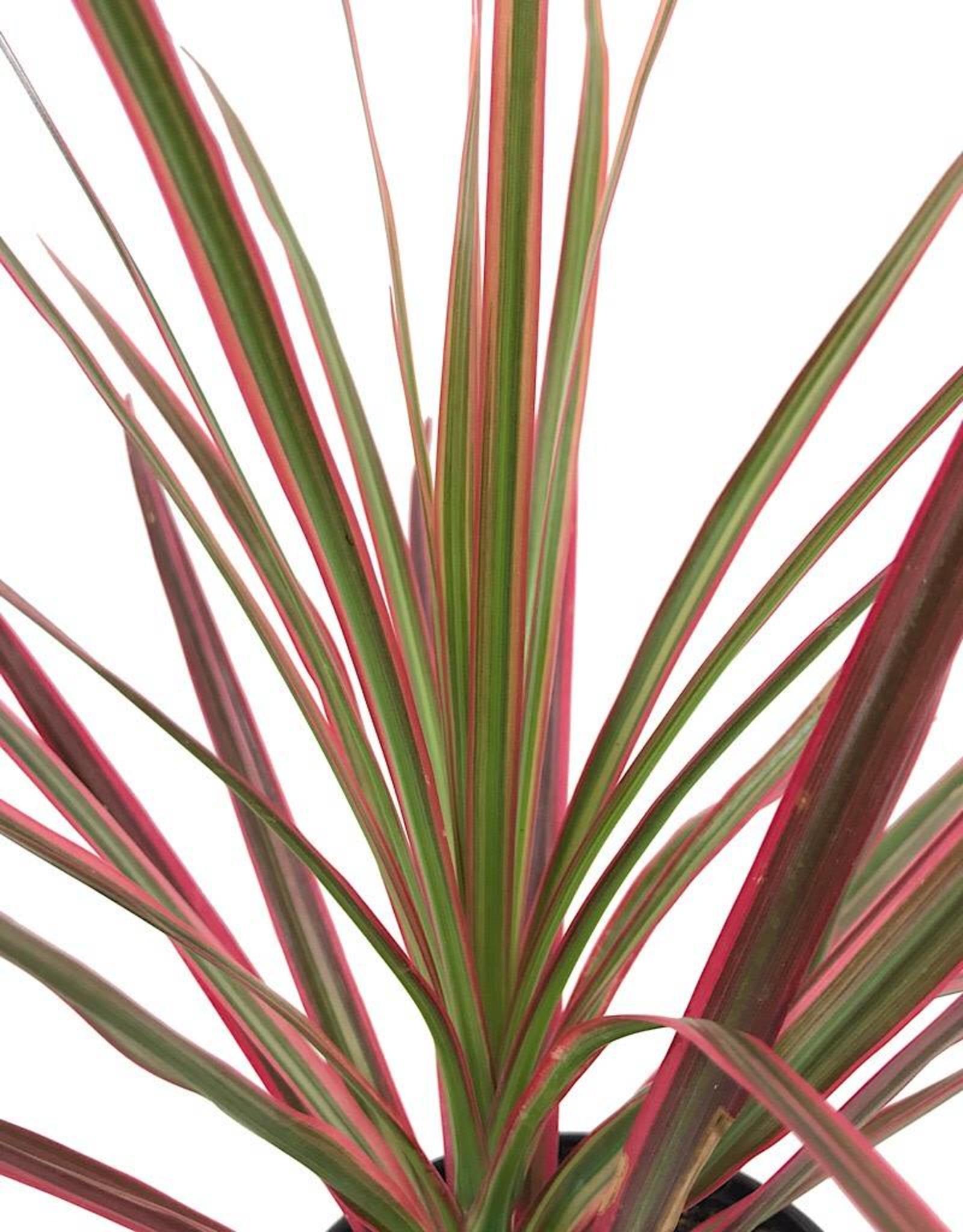 Dracaena marginata 'Colorama' 4 Inch