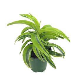 Dracaena 'Lemon Surprise'- 4 inch