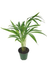 Dypsis lutescens - 4 inch