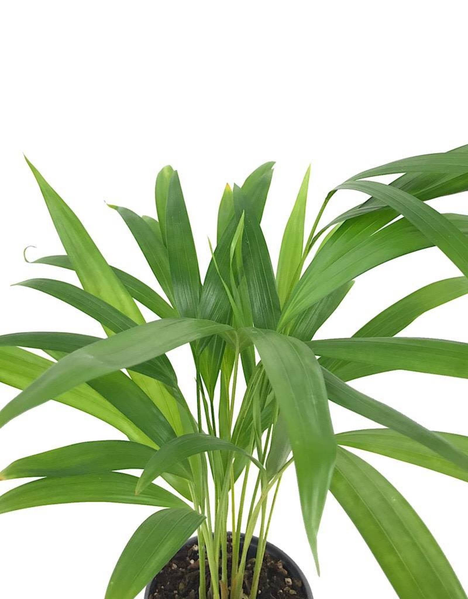 Dypsis lutescens 4 Inch