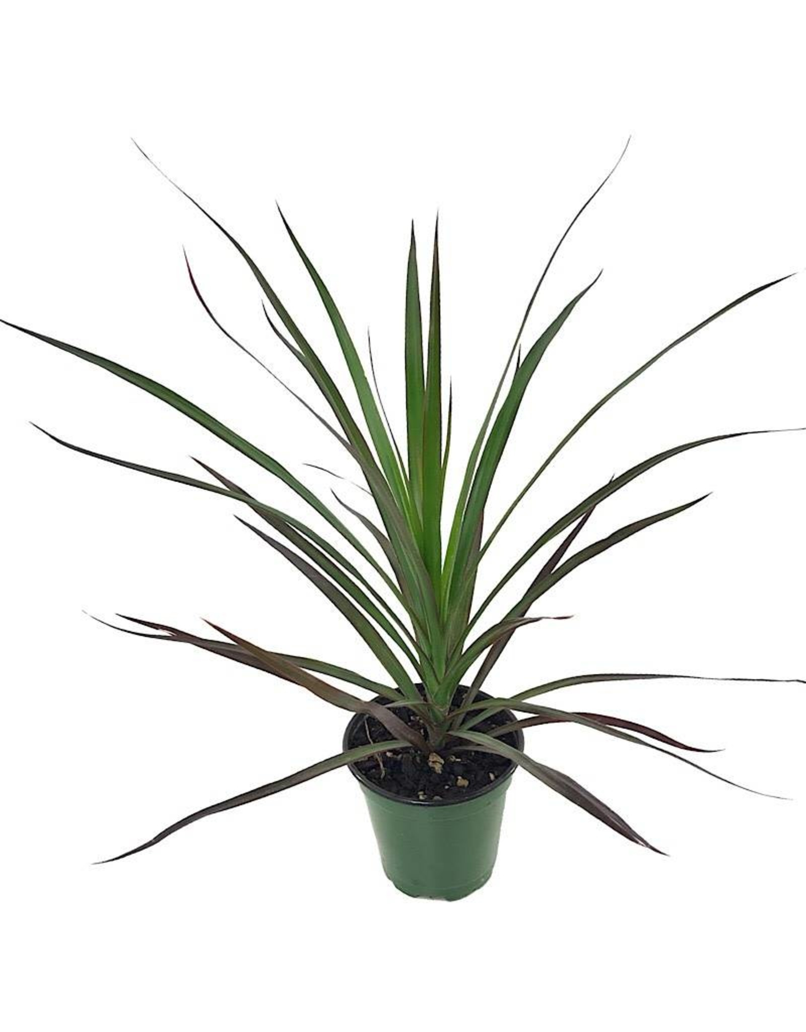 Dracaena marginata 'Magenta' 4 inch