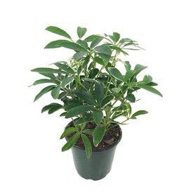 Schefflera arboricola 4 Inch