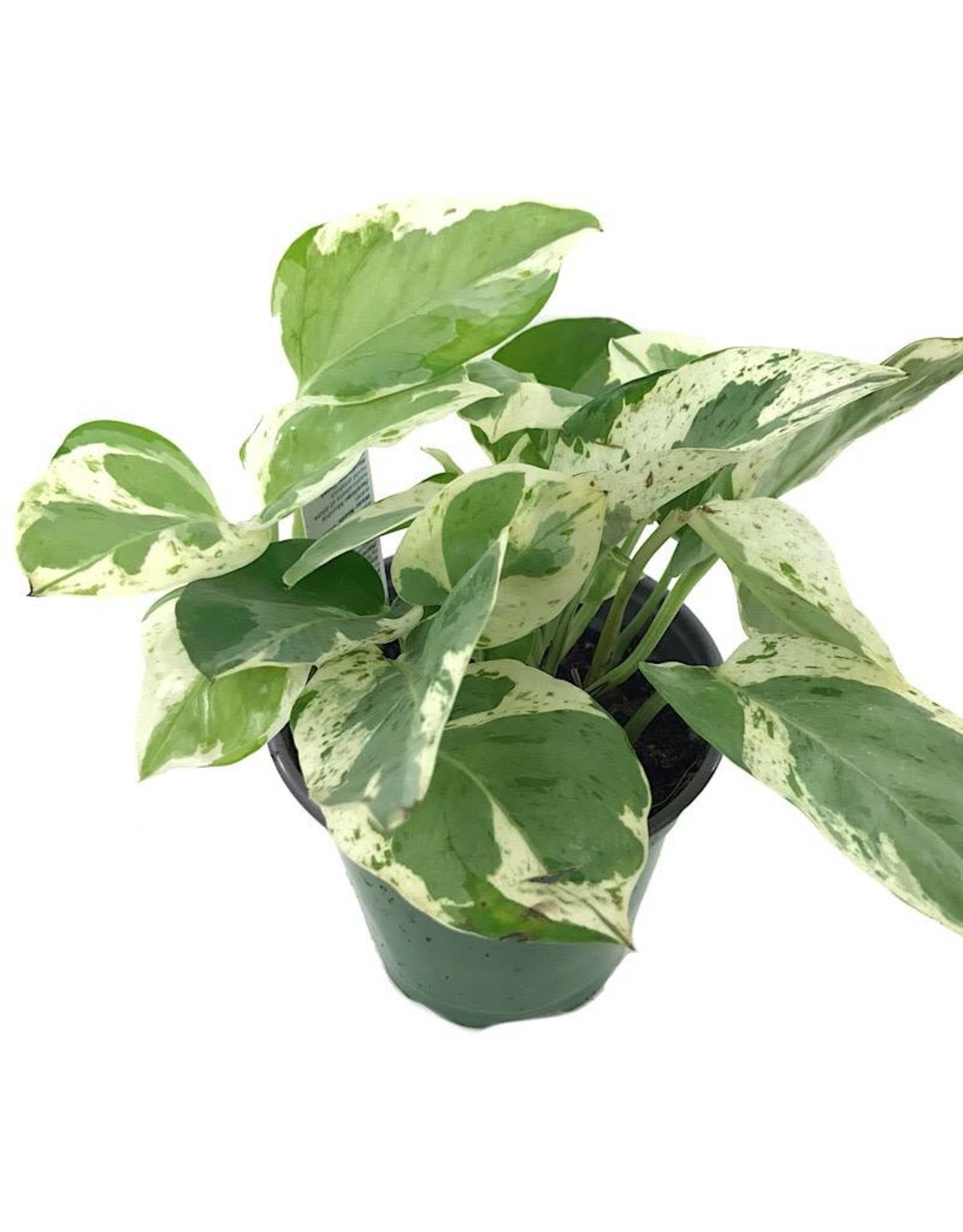 Pothos 'Pearls and Jade' 4 inch