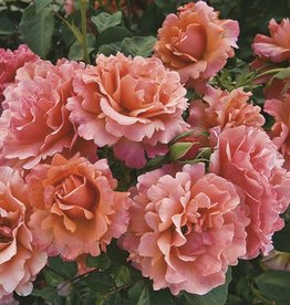 Weeks Roses Easy Does It™ Floribunda Rose